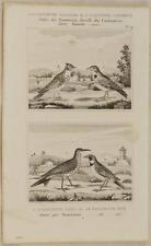 BUFFON ORIGINALE 1850 ALOUETTE BIRD CALANDE COCHEVIS SIRLI ORNITOLOGIA UCCELLI