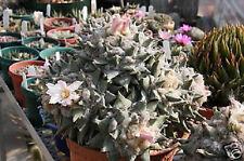 Ariocarpus retusus, exotic rare desert  living rock cactus cacti seed 10 SEEDS