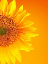 SINGLE SUNFLOWER BLOOM ORANGE YELLOW PHOTO ART PRINT POSTER PICTURE BMP773A