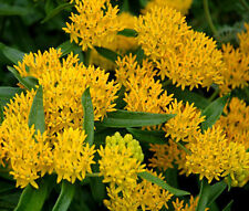 BUTTERFLY WEED HELLO YELLOW Asclepias Tuberosa - 10 Seeds