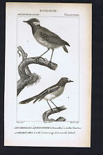 Fly Catchers/ Gnat Eaters - Passerines  -  1824 Dumont Bird Engraving