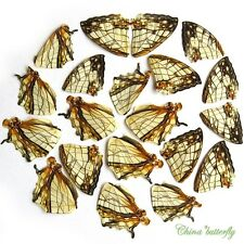 20 pcs REAL BUTTERFLY wing jewelry butterfly material ooak fairy DIY artwork #22