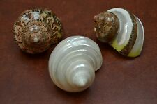 "3 PCS ASSORT SEA SHELLS TURBO HERMIT CRAB 2"" - 2 1/2"" #7058/7770/7771"
