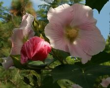 Confederate Rose Hibiscus Cotton Rose Heirloom Perennial Flower Garden 20 Seeds