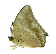 Unmounted Butterfly/Nymphalidae - Charaxes nitebis, male, Indonesia, A-