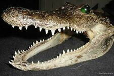 "REAL 7"" AMERICAN ALLIGATOR HEAD OFF 4' FLORIDA GATOR taxidermy authentic teeth"