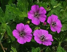 Hardy Geranium Plant For Shade – Pink Penny Flowers May to Oct - Perennial