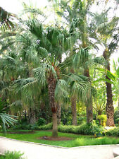 Chinese Fan Palm (Livistona Chinensis) 10 Seeds