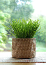 Wheatgrass Seeds 1kg + 1kg FREE - For cleansing & strengthening
