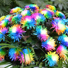 100 Pcs Rainbow Chrysanthemum Flower Seeds Special Unusual Colorful Garden Decor