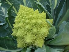 Brassica oleracea f1 Cauliflower Veronica organic,Cauliflower Veronica,30 Seeds!