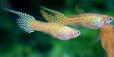 Yellow Lace Top Sword  live guppy pair