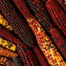 Sweet Colorful 40pcs Landrace Corn Seeds Non Gmo Organic Vegetable Seed