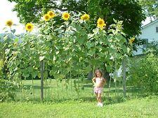 Riesen - Sonnenblume  Sky Scraper 5+ Samen – Rarität