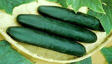 35 STRAIGHT EIGHT CUCUMBER 2017 (all non-gmo heirloom vegetable seeds!)