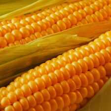 AMERINDIAN FLINT CORN GROW YOUR OWN POPCORN HIGH YIELDING VARIETY 50 SEEDS !!