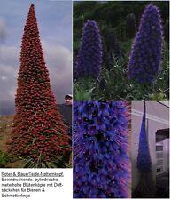 Gigantischste Blumen der Welt : Blauer & roter Riesen-Natternkopf /  Samen-Sort.