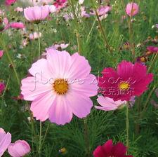 """400Attractive Impressive Wildflower """"Low Growing"""" Seeds fragrant TT028"""