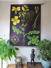 VINTAGE JUNG KOCH QUENTELL PULL DOWN BOTANICAL SCHOOL CHALK CHART OF RAPESEED 2