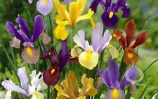 25 Dutch Iris Mix bulbs, Yellow, Purple, Violet, Blue and White, Now shipping !