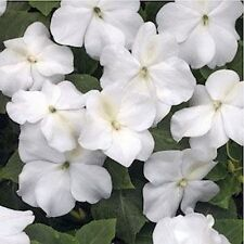 Impatiens- Baby White- 50 Seeds - 50 % off sale