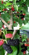 winterharter Schwarzer Maulbeer-Baum ❉ gesundes Obst  für den Garten ❉ Samen ❉