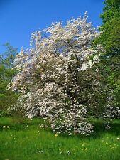Rara-North Carolina State Flor. Cornus Florida-floración Dogwood. 5 Semillas