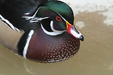 Wood Duck Decoy Reference Photo Cd