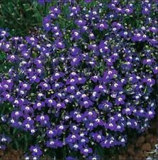 Lobelia Mrs Cilbran 200 Seeds Beautiful Ground Cover Rock Garden Edging