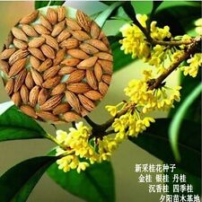 200 pc Osmanthus fragrans / Sweet Olive seed / O. fragrans - Gui Hua tree seeds