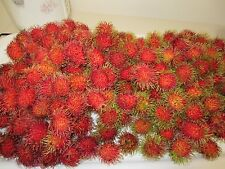 "14"" - 16"" TALL FLORIDA Rambutan PLANT TROPICAL Fruit Tree Nephelium lappaceum"