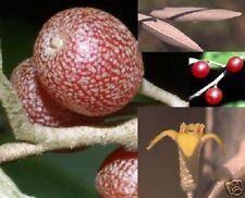Korallenbaum - winterharter Exot für das Freiland mit unbekanntem Garten-Obst