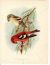 HENRIK GRONVOLD - TWO-BARRED CROSSBILLS - ANTIQUE CHROMO LITHO  PLATE (c.1900)
