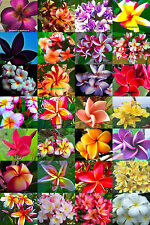 "Plumeria/Frangipani/Flowers/Plants/""Mixed""/ 500 seeds"