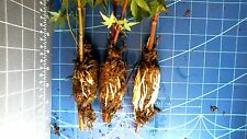 1 tree Pre-Bonsai Japanese Maple Green Tree Rooted Cutting Spectacutlar Root