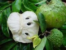 Guanabana,annona muricata, soursop live fruit tree seedling from Puerto Rico