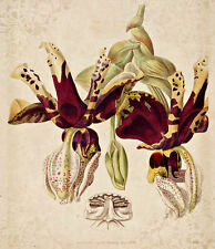 Stanhopea Tigrina Edwards Botanical Pl 01 A1 High Quality Canvas Art Print
