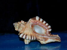 "4 to 5"" PERRY'S TRITON CYMATIUM PERYII SEA SHELL  4 to 5""  BEACH DECOR AQUARIUM"