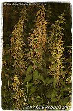 Urtica dioica 'Stinging Nettle' [Ex. Co. Durham] 1500+ SEEDS [NEW STOCK 2016!]