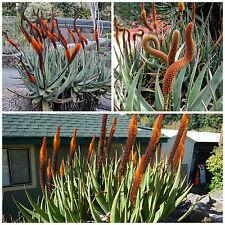 10 semi di Aloe castanea , piante succulente, piante grasse