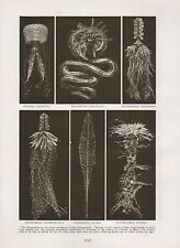 1911 NATURAL HISTORY DOUBLE SIDED PRINT ~ FLOWERS OF THE SEA / MACULATA UVARIA