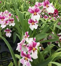 Miltoniopsis Princess Diana orchid, blooming size shades of pink with white lip