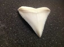 "1.57"" GREAT WHITE SHARK TOOTH real modern OLD COLLECTION Carcharodon carcharias"