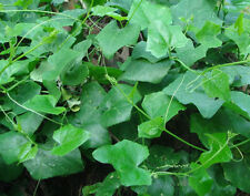 Best of 100 Seeds IVY GOURD, Coccinia indica From Thailand