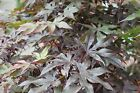Acer Palmatum 'Red Emporer' - Japanese Maple 160cm Tall- LARGE PLANTS