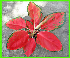 "New AGLAONEMA ""RED ELEPHENT LEAF "" New Variety SUPER RED Color RARE @@"