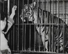 PHOTO FRANCE PRESSE VOIR ORIGINALE + TIGRE en cage + CIRQUE