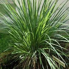 LEMONGRASS Lemon Grass Herb Vegetable, Ornamental Seeds 20 seeds)V-037