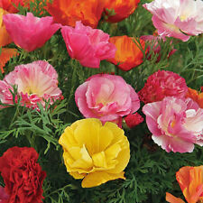 CALIFORNIA Poppy Mission Bell Mix Seeds (F 384)