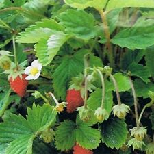 Wild Strawberry- 100 Seeds - 50 % off sale